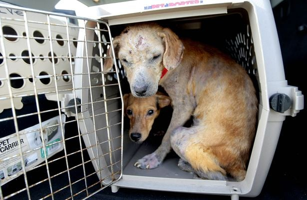 New Life for Ten Emaciated and Mange-Covered Dogs