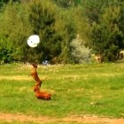 Dachshunds Play with Balloon