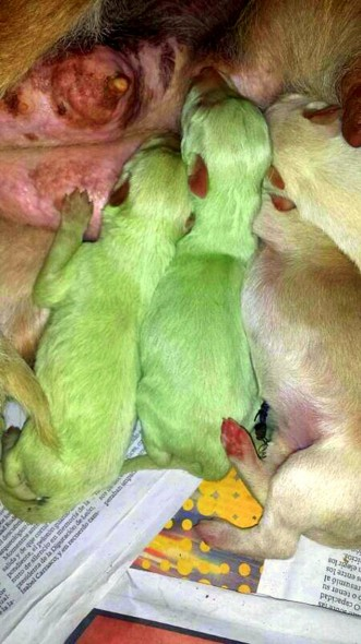 6.12.14 - Puppies Born with Green Fur2