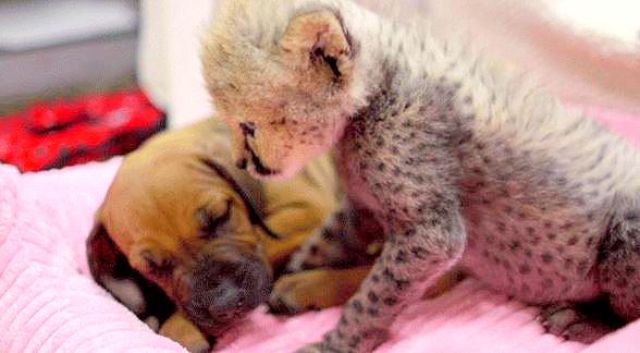 6.16.14 - Cheetah Cub Rejected by Mother Finds New Friend in Puppy
