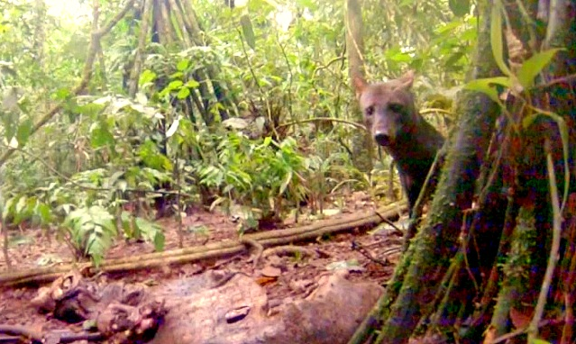 Rare Amazon Rainforest Dog Captured on Video
