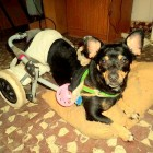 Disabled Street Dog Rescued in Argentina
