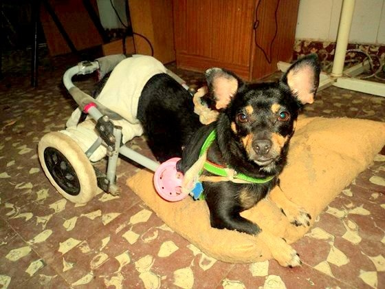 6.27.14 - Disabled Street Dog Rescued in Argentina1