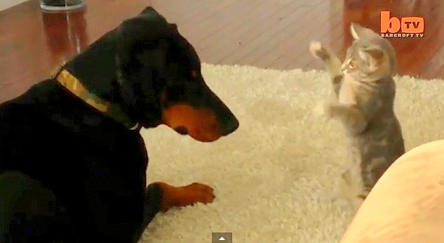 Doberman Patiently Takes on Ninja Kitten