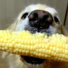 Dog Is a Pro at Eating Corn on the Cob