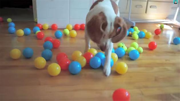 Dog Loses his Mind over Birthday Present