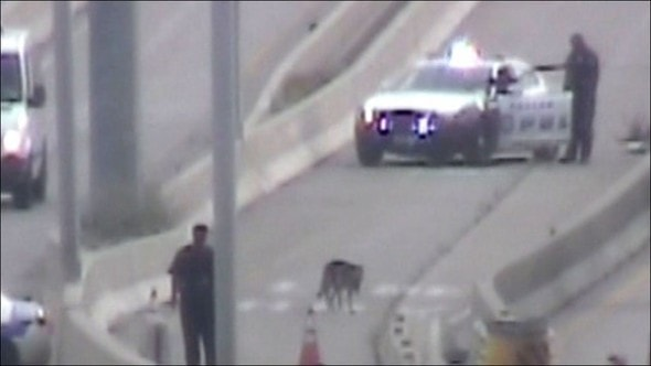 6.30.14 - UPDATE Dying Dog Rescued from Houston Highway Adopted2