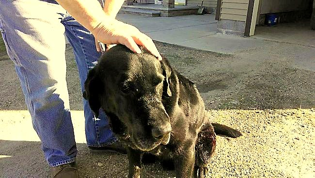 Heroic Lab Gives His Life to Save Family from a Bear