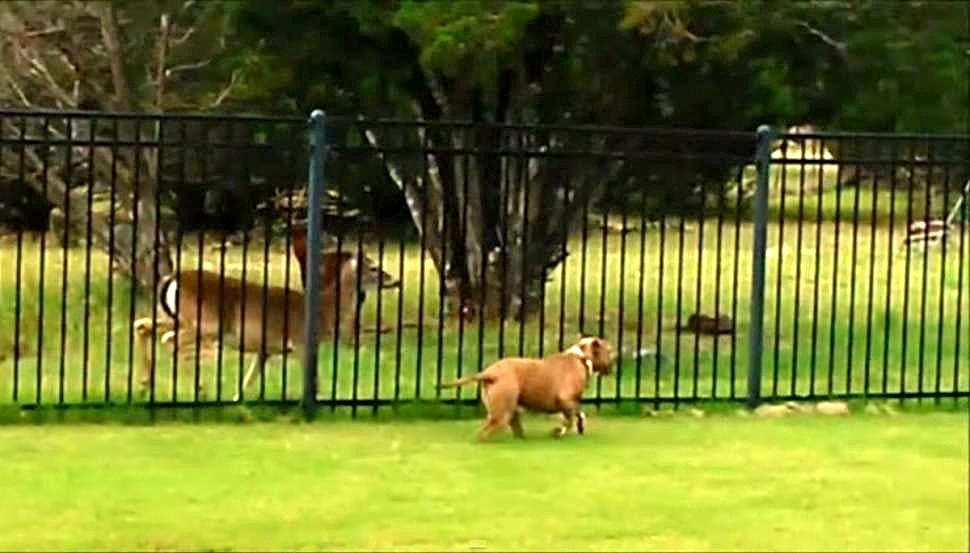 Rescue Pit Bull Finds Racing Buddy in Deer