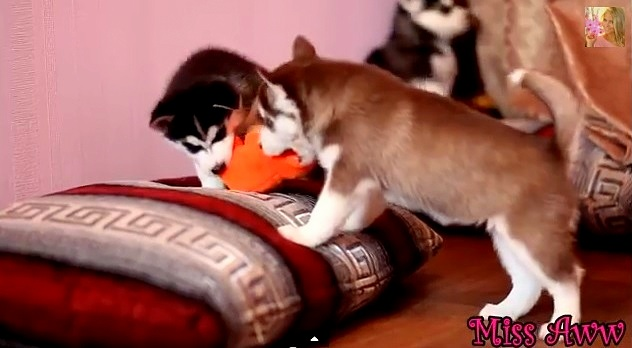 Husky Puppies Play-Fighting