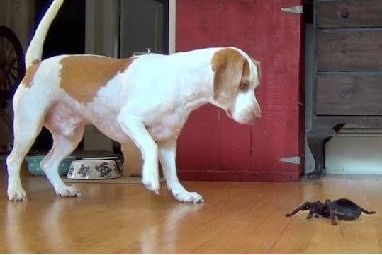 Dog vs. Robot Spider: Cute Dog Maymo