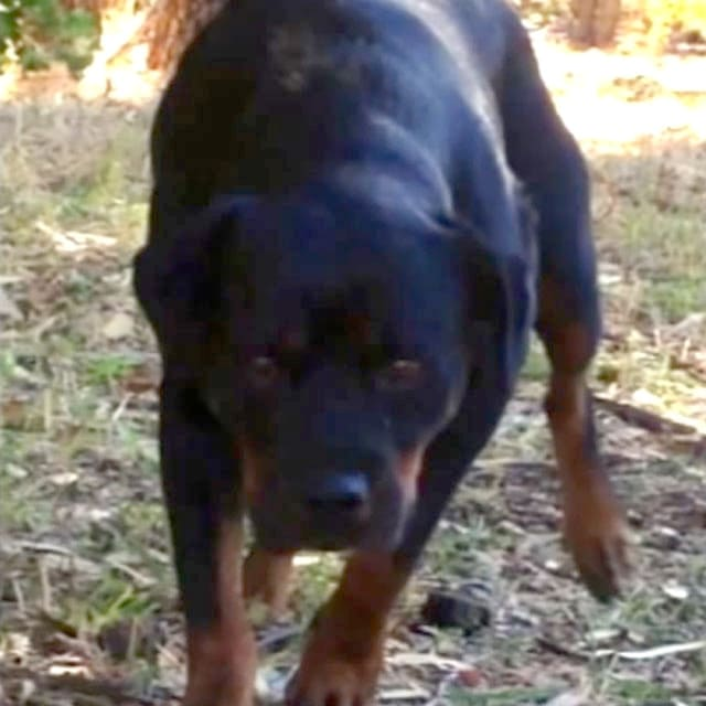 Aussie Rottweiler Goes from Feral To House Pet