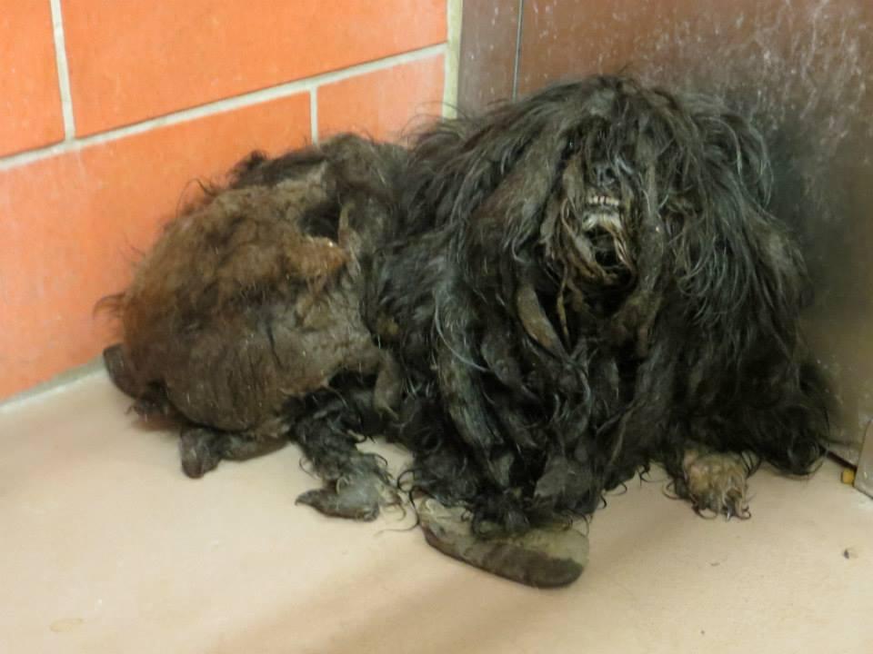 Beautiful Dog Hidden Under Years of Neglect