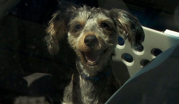 Puppy Rescued from Sizzling Death Inside 100 Degree Car