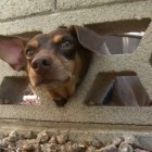 Mischievous Dog Tries to Run Away and Gets Stuck in Wall