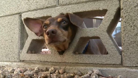 Chip tried to run away by squeezing through a wall. He failed and had to be rescued.