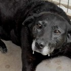 Dog Who Walked 30 Miles to Get Back Home Finds Forever Home