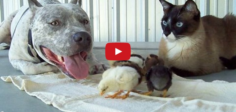 This Pit Bull Absolutely Loves These Chicks!