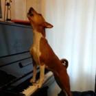 Basenji Plays Piano and Sings
