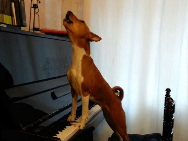 Basenji Plays Piano and Sings