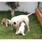 Bull Terrier Plays with Bulldog Puppies