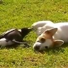 Dog and Crow Play Together