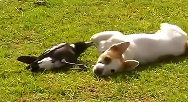 Dog and Crow Play Together