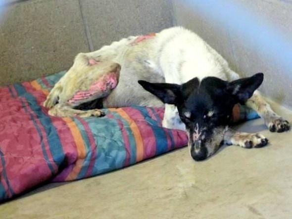 7.11.14 - Firework Dog Recovering2