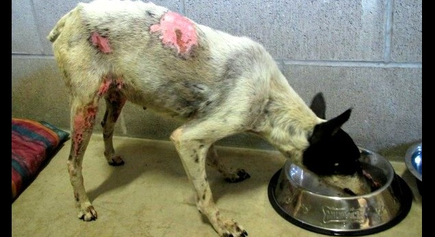 Dog Survives Being Strapped with Fireworks, Recovering