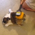 English Bulldog Puppy Finds Nirvana in an Inanimate Object