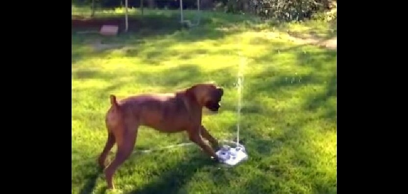 Boxer Has a Blast with Water Fountain