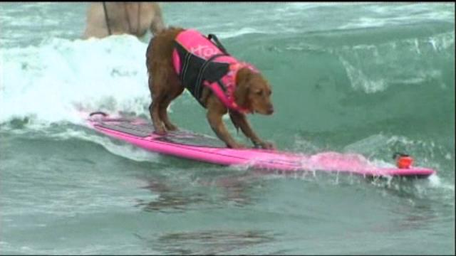 Dog Surfing Contest held in Southern California
