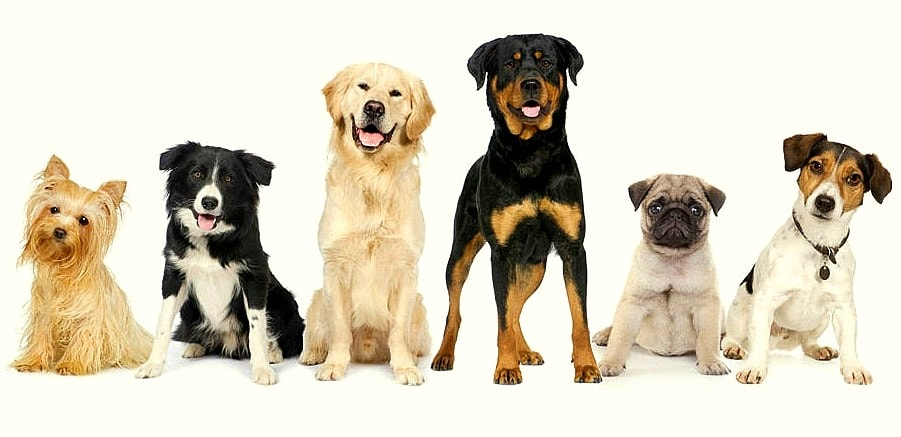 Volunteers Needed to Participate in Dog Study