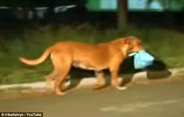 Dog Travels Almost 3 Miles Every Night to Feed Her Friends