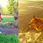 German Shepherd Rescued After Spending 13 Years Tied to a Tree