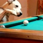 This Dog Plays Pool Better Than You Do!