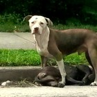 Pit Bull Faithfully Guards Fallen Companion