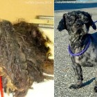 FOUR Pounds of Fur Shaved from Dog Who Couldn't Walk