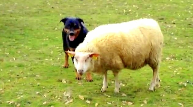 Rottweiler Has a Sweet Encounter with a Sheep