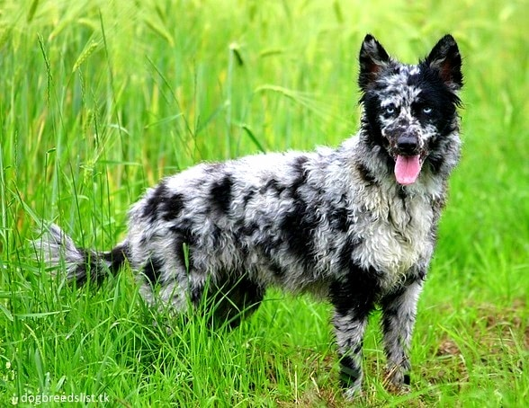 13 Coolest Looking Dog Breeds Life With Dogs