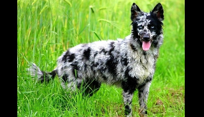 13 Coolest-Looking Dog Breeds
