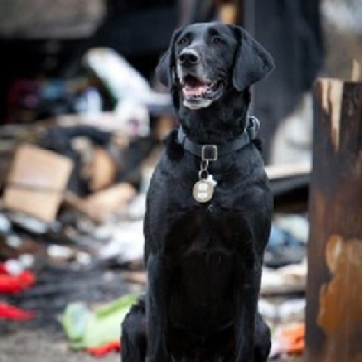 San Antonio Arson Dog on way to Hollywood for AHA Hero Dog Award