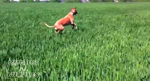 Funny Dog BOUNCES Through Field
