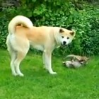 Dog Plays Stepmom to Two Adopted Foxes