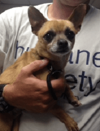 Chihuahua Needs Donations for Critical Surgery