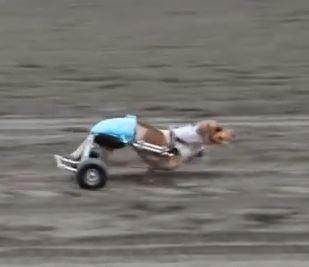 Anderson Pooper: The Incredible Paralyzed Race Dog