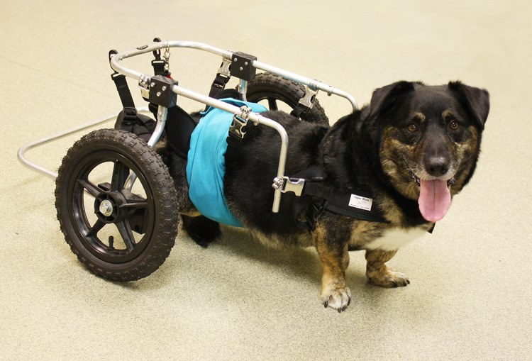 Elvis gets mobility with his new wheels
