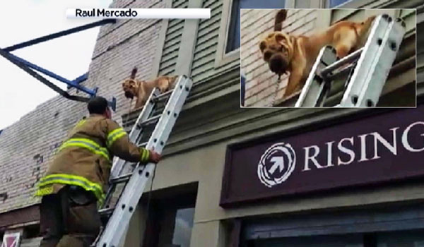 Escape Artist Dog Gets Stranded on 2nd-Story Ledge
