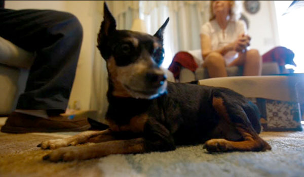 Miniature Pinscher Saves Owner from Cancer Twice