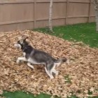 This Dog's Reaction to the Leaf Pile is to Die For!